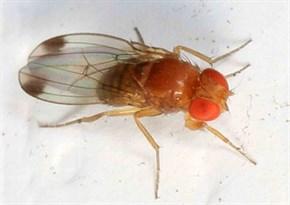 2 Spotted Winged Drosophila Drosophila Suzukii Judy Gallagher Ed