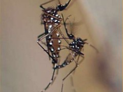 Aedes aegypti mating
