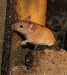 Mice and urine pillars
