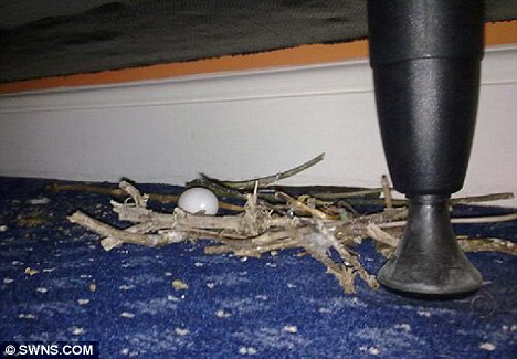 Pigeon nest under bed