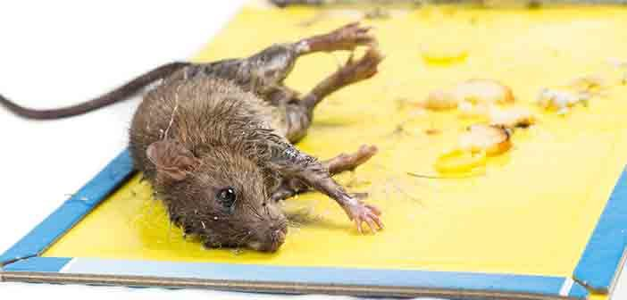 Government backs Bill banning the use of glue traps for pest control