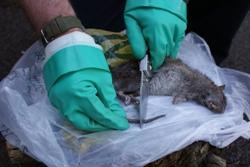 Rat tail cutting