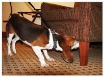 Bedbug snifer dog