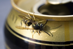 Wasp on can