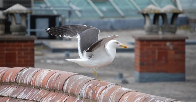 Gull licencing