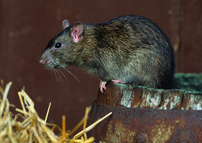 Norway rat - ex Bayer 1