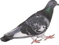 Survey pigeon