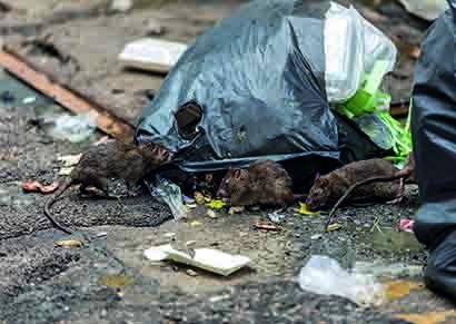 Rats and rubbish pic