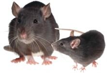 Survey rodents