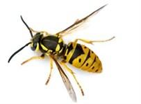 Survey wasp